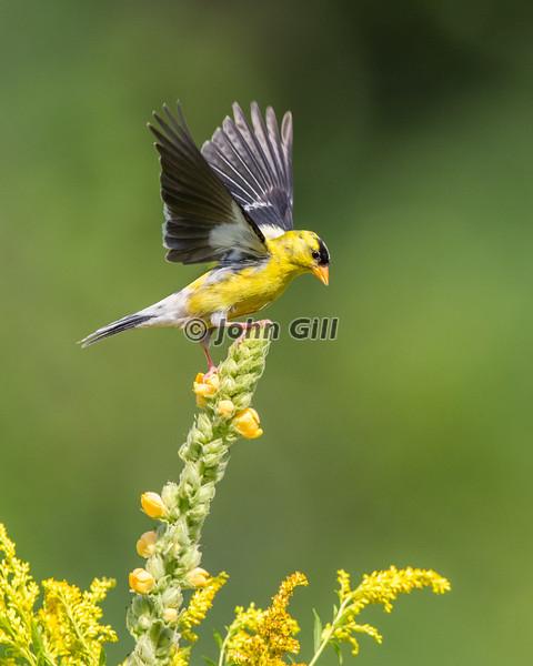 American Goldfinch Touchdown
