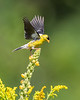 American Goldfinch Touchdown