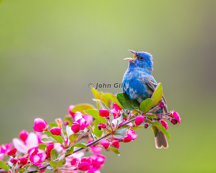 Song of Spring - Indigo Bunting