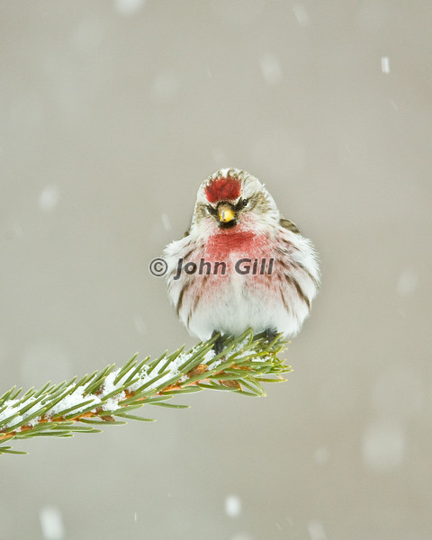 Cold Redpoll