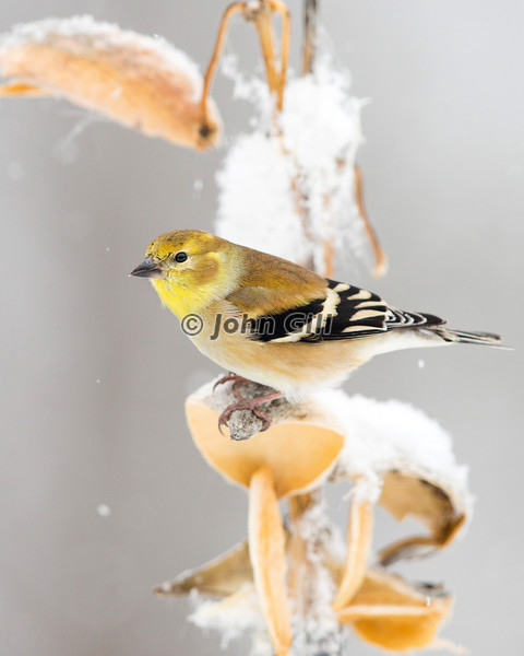 American Goldfinch on Milkweed Pod