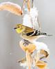 American Goldfinch on Milkweed Pod