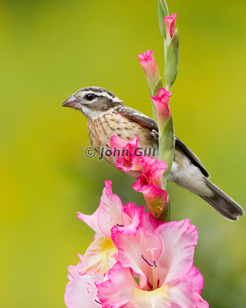 Rose Breasted Grosbeak (female)