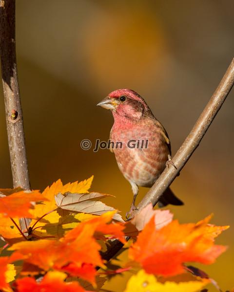 Purple Finch #3426 (male)