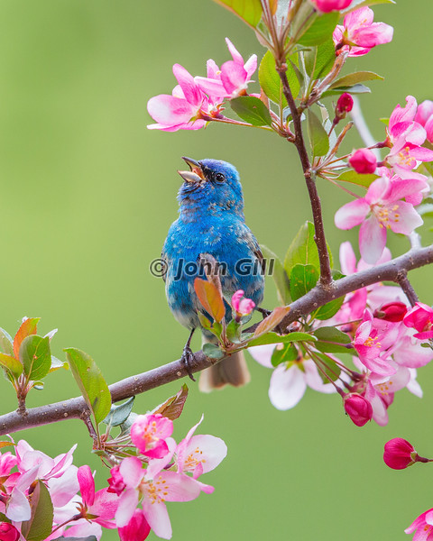 Indigo Bunting Morning Song