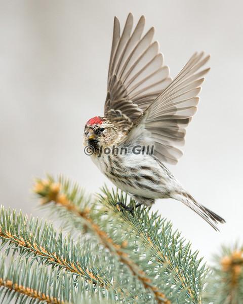 Redpoll Taking Flight