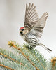 Redpoll Taking Flight