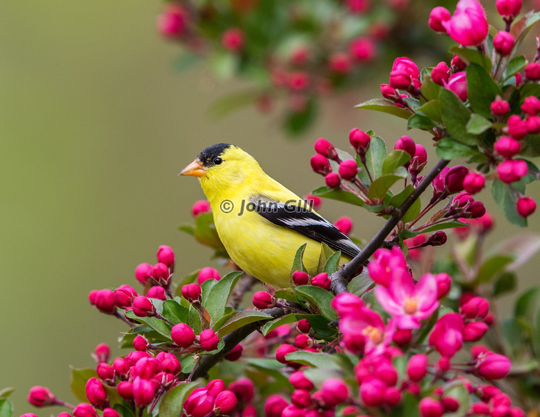 American Goldfinch 7145