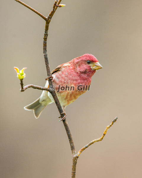 Purple Finch #5013 (male)