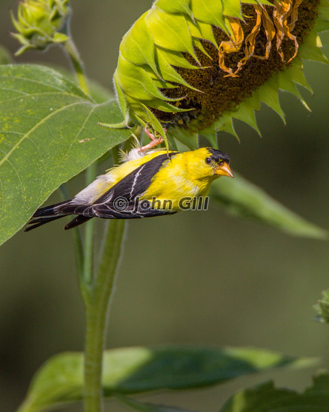 American Goldfinch 6981