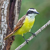 Great Kiskadee 2488