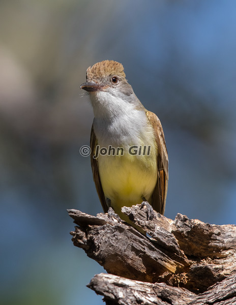 Brown-Crested Flycatcher 7864