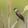 Eastern Kingbird 6935