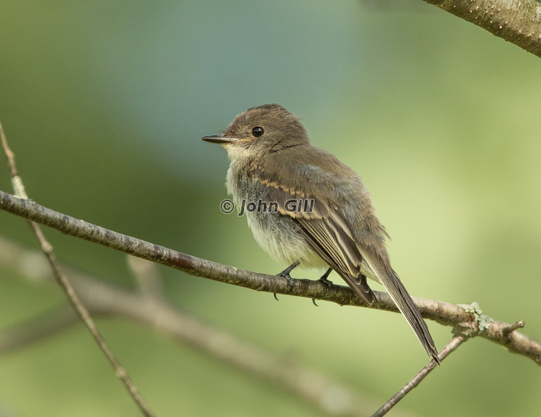 Eastern Wood Pewee 3155