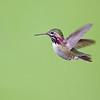 Calliope Hummingbird 5491