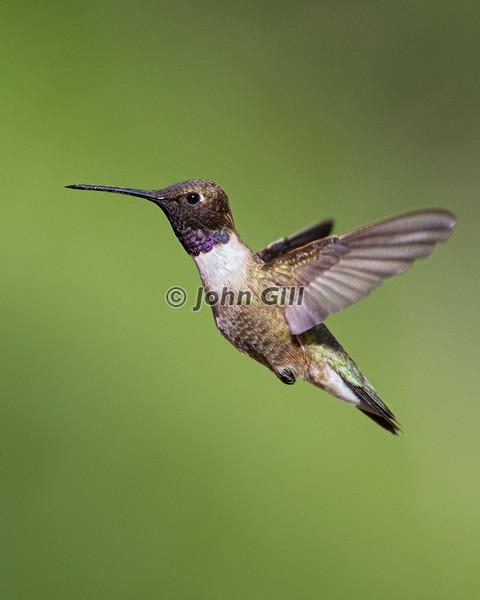 Black-chinned Hummingbird 1432