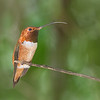 Rufous Hummingbird 8555