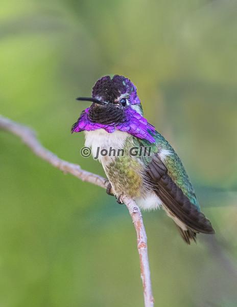 Costa's Hummingbird 8101