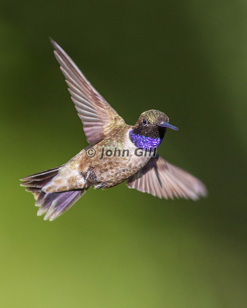Black-chinned Hummingbird 1014