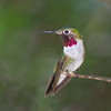 Broad-tailed Hummingbird 8455