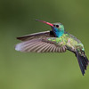 Broad-billed Hummingbird 1030