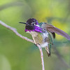 Costa's Hummingbird 8105