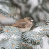 Dark-eyed Junco 3885
