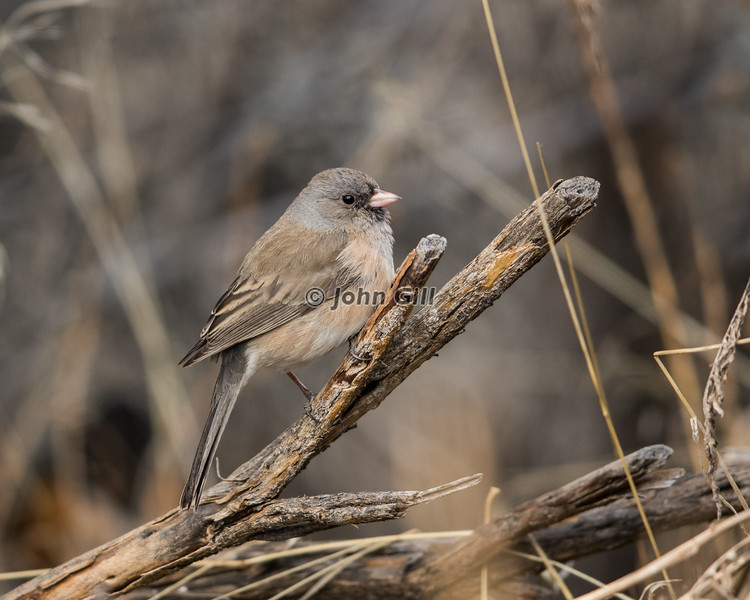 Dark-eyed Junco 7636 (Oregon race)