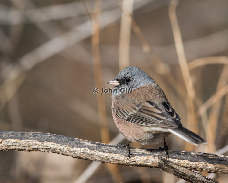 Dark-eyed Junco 7549 (Oregon race)