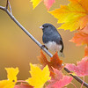 Dark-eyed Junco 3188