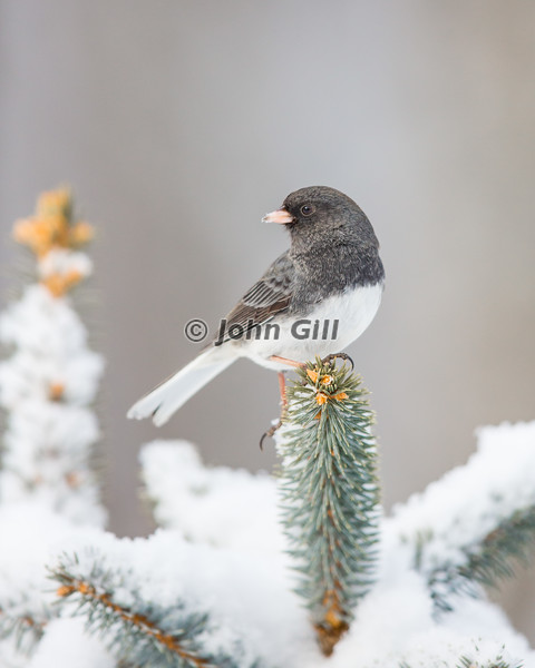 Dark-eyed Junco 2843