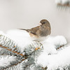 Dark-eyed Junco 4705
