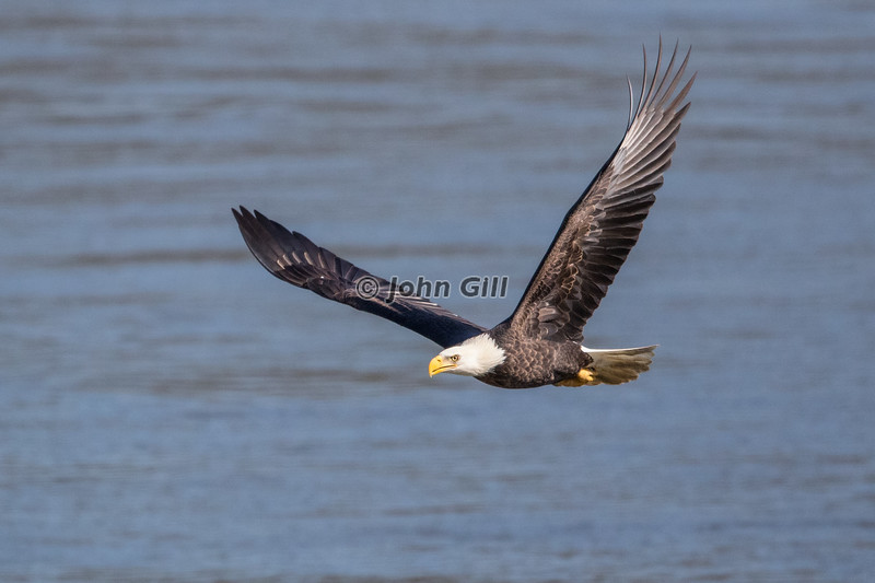 Bald Eagle Flight 2965
