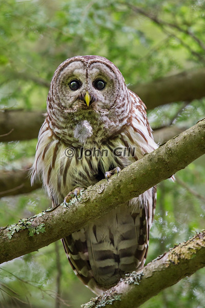 Barred Owl 8169