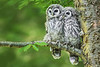 Barred Owlets 1518