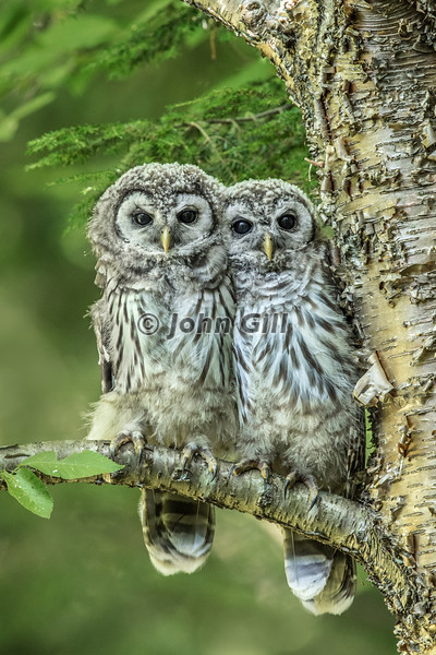 Immature Barred Owls