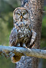 Great Gray Owl # 8290