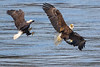 Bald Eagle Food Fight