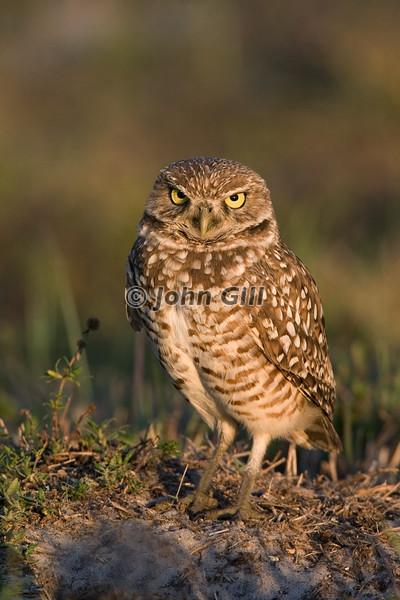 Burrowing Owl # 1280
