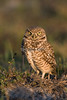 Burrowing Owl # 1280