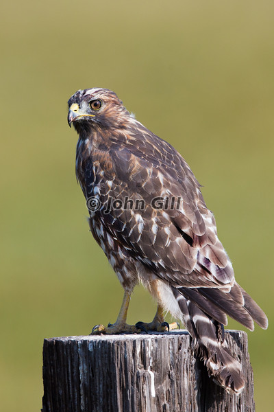 Red Shouldered Hawk (immature)