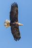 Bald Eagle 3016