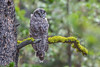 Great Gray Owl #3136