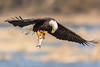 Bald Eagle - Catch of the Day