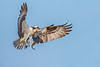 Osprey Catch of the Day