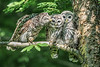 Barred Owls 1529