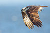 On The Hunt (Osprey)