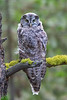 Great Gray Owl #1428