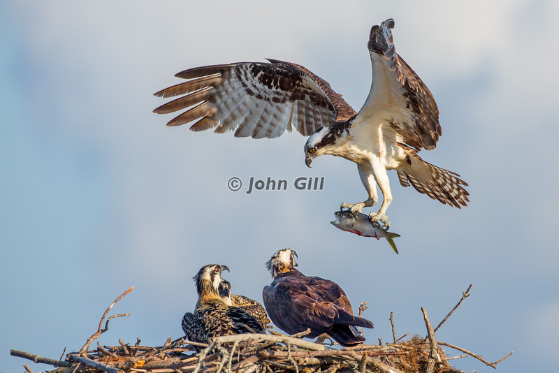Fish For Breakfast (Osprey)