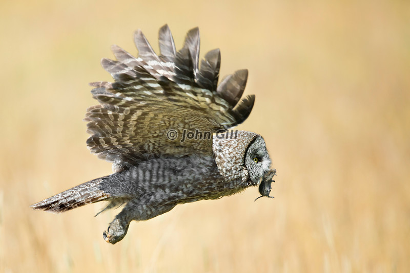 Fast Food (Great Gray Owl)
